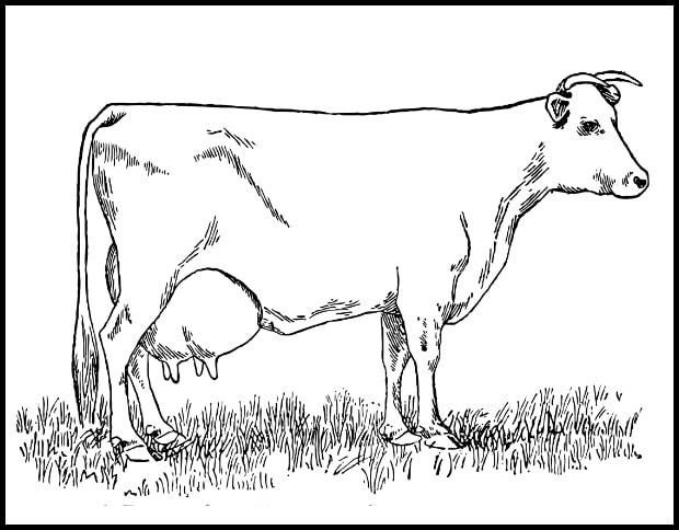 cow color page